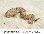 Venomous Sidewinder Rattlesnak...