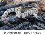 Venomous Timber Rattlesnake (Crotalus horridus) in fire pit