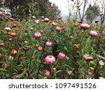 straw flower  everlasting ... | Shutterstock . vector #1097491526