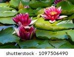 nymphaea   water lilies   ... | Shutterstock . vector #1097506490