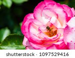 Closeup Pink Rose And Bee