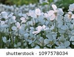 white anemone flowers in garden | Shutterstock . vector #1097578034