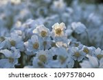 white anemone flowers in garden | Shutterstock . vector #1097578040