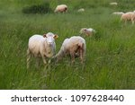 a herd of clear sheep color... | Shutterstock . vector #1097628440