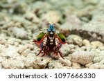 peacock mantis shrimp ... | Shutterstock . vector #1097666330