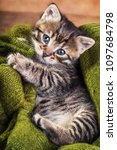One Month Old Tiger Tabby...