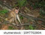 monkey in the wild | Shutterstock . vector #1097702804