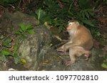 monkey in the wild | Shutterstock . vector #1097702810