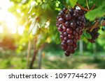 Ripe Grapes Hung On Vineyards...
