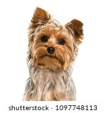Yorkshire Terrier Dog In...