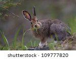 Snowshoe Hare Eating Grass ...