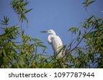great egret    ardea alba   ... | Shutterstock . vector #1097787944