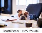 british bulldog dressed as... | Shutterstock . vector #1097793083