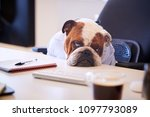 British Bulldog Dressed As...
