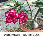 Adenium Obesum Or Impala Lily...