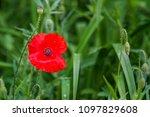 red poppy in green grass | Shutterstock . vector #1097829608