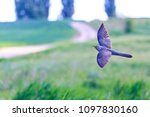 cuckoo is flying over the field ... | Shutterstock . vector #1097830160