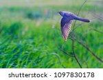 cuckoo flies on a green field | Shutterstock . vector #1097830178