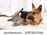 Stock photo adorable cat and dog resting together on fuzzy rug indoors animal friendship 1097831066
