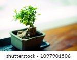 japanese bonsai for show in... | Shutterstock . vector #1097901506