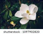 A Large  Creamy White Southern...