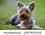 Yorkshire Terrier And Cone