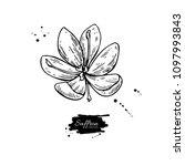saffron flower drawing. hand... | Shutterstock . vector #1097993843