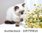 Stock photo little cat playing with chamomile 109799810