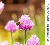 Small photo of Square photo of few chive blooms. Blooms have nice pink / purple color and many colorful small leaves. Herb has green stems. Small bumble-bee is perched on one bloom.
