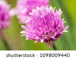 Small photo of Horizontal photo with big chive bloom. Bloom has nice pink / purple color and consists of many small colorful leaves. Other blooms are around on green background.