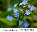 blue forget me nots  myosotis... | Shutterstock . vector #1098057200