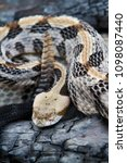 Small photo of Timber Rattlesnake (Canebrake) with rattle displayed