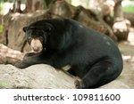 Malayan Sun Bear Helarctos...