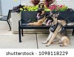 portrait of a german shepherd | Shutterstock . vector #1098118229