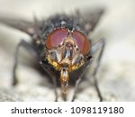 Close Up Of A Black Fly With...