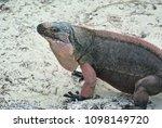 a closeup of an iguana on allen'... | Shutterstock . vector #1098149720