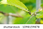 the flock of small black aphids ... | Shutterstock . vector #1098159878