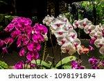 orchid flower garden   Shutterstock . vector #1098191894