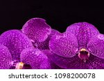 vanda orchid as a background   Shutterstock . vector #1098200078
