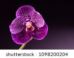 vanda orchid as a background   Shutterstock . vector #1098200204