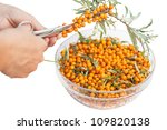 The hand with the scissors cuts the buckthorn. The harvest of seabuckthorn (Hippophae rhamnoides). This product contain the plenty of vitamin C. - stock photo