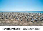 The Australian gannet birds colony at Cape Kidnappers the largest gannet nest in Oceania, Hawke