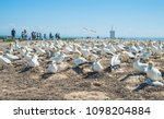 The Australian gannet birds colony at Cape Kidnappers the largest gannet nest in Oceania in Hawke