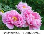 paeonia 'shinmane otone mai'   Shutterstock . vector #1098209963