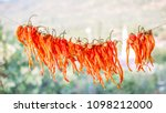 view of hanging peppers for... | Shutterstock . vector #1098212000
