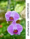 beautiful purple orchid with...   Shutterstock . vector #1098259130