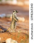 the meerkat or suricate ...