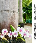 little white pink orchids in...   Shutterstock . vector #1098266894