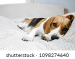 beagle dog sleeps on bed in a... | Shutterstock . vector #1098274640