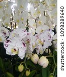 white orchid with purple spots.   Shutterstock . vector #1098289640